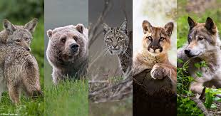 San Francisco Federal Court Approved the Ban on Cruel U.S. Wildlife Services! |