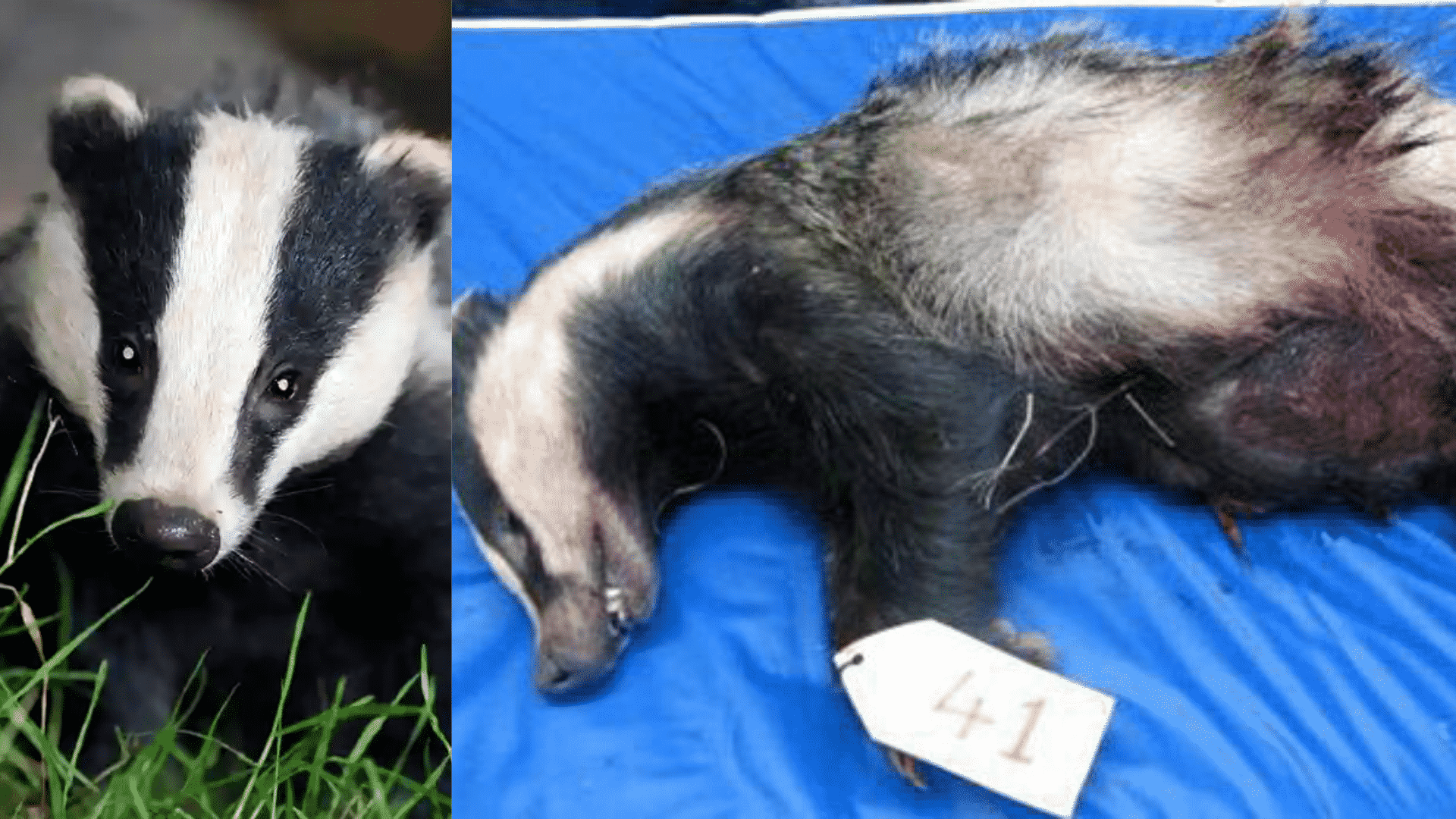 The Tragic Holocaust of Badgers: When Will We Stop Murdering Animals for Our Convenience?