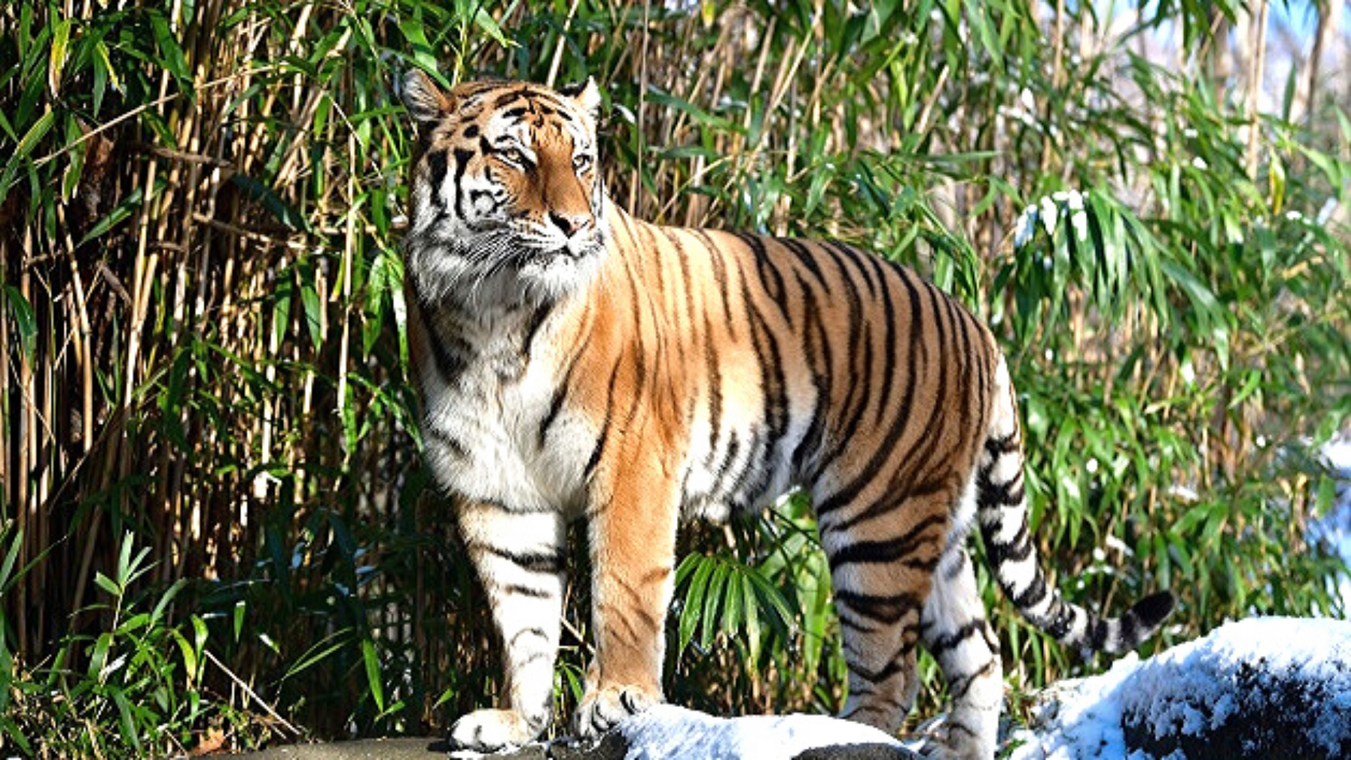 Can Humans Infect Animals with COVID-19? A Tiger at the Bronx Zoo Tested Positive!  