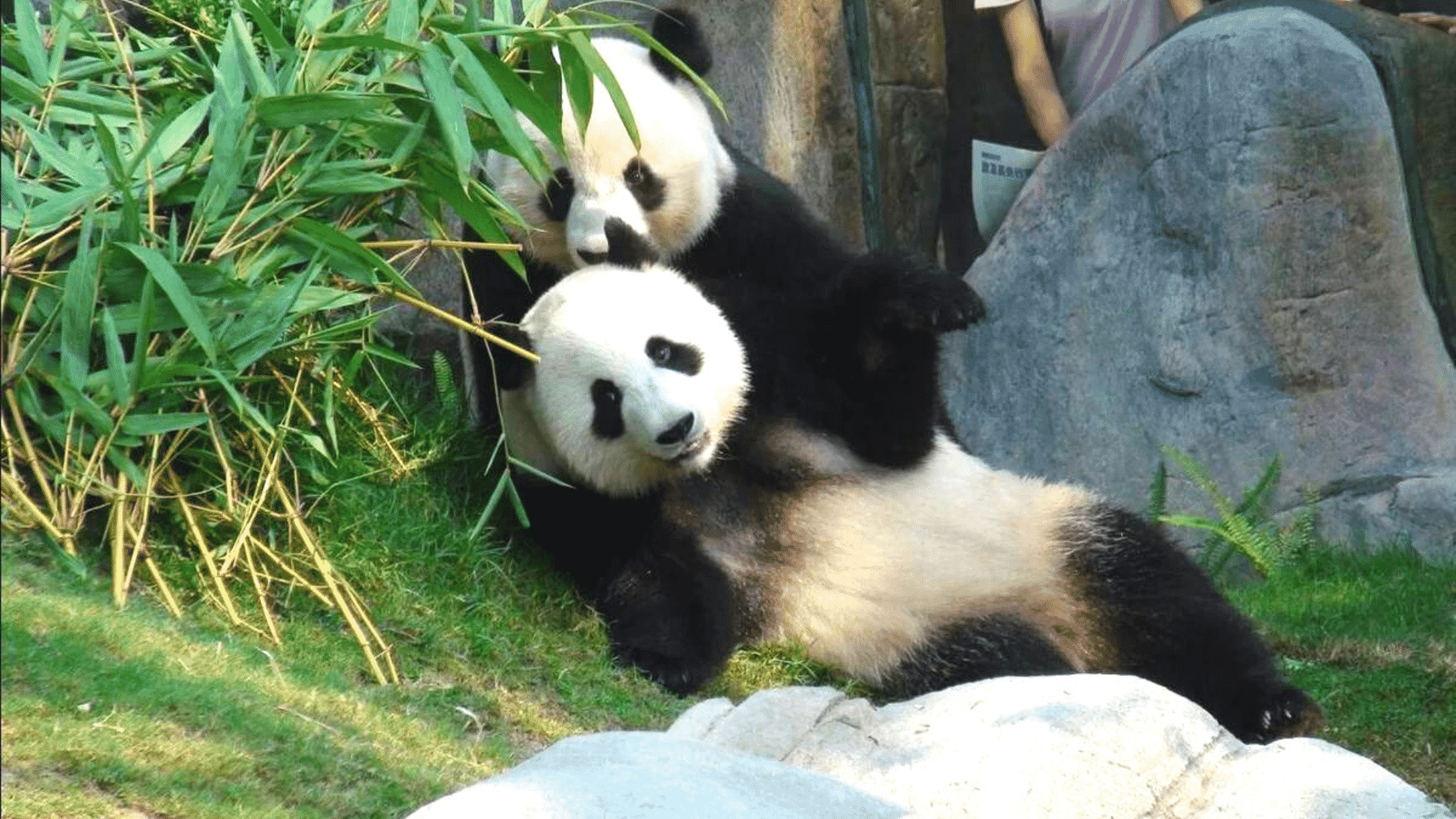 2 Pandas Make Love for the 1st Time in a Decade Thanks to COVID-19!