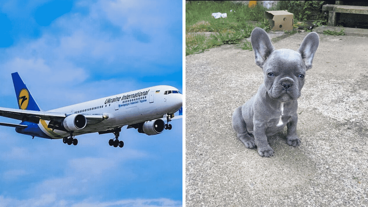 38 French Bulldog Puppies Found Dead In A Plane Cargo Hold |