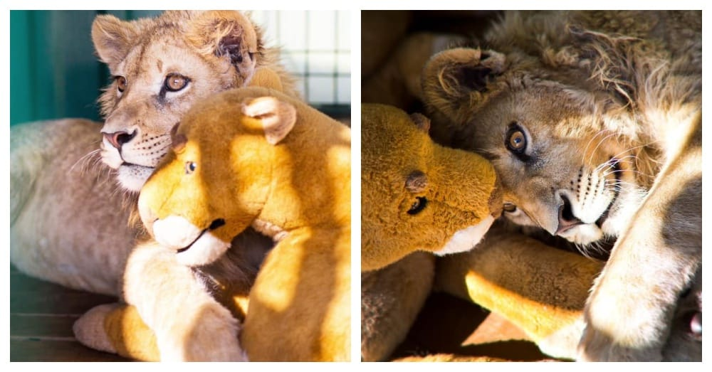 They Broke Lion's Cub Intentionally So Tourists Could Take Photos With Him |