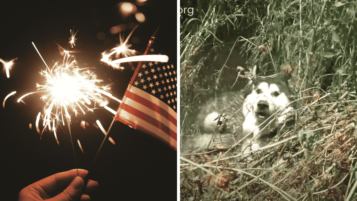 Husky Got Spooked by Fireworks and Ended Up in the River! He cried like a baby when…