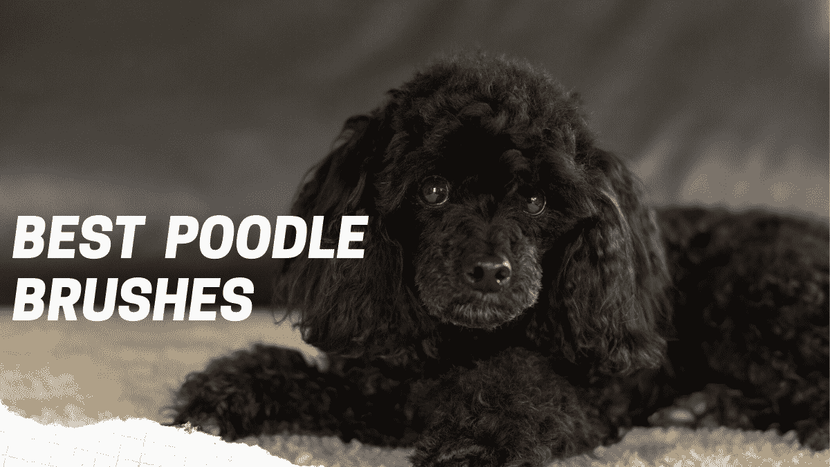 The Best Brush for Poodles in 2020 - A Stylish Buyer's Guide |