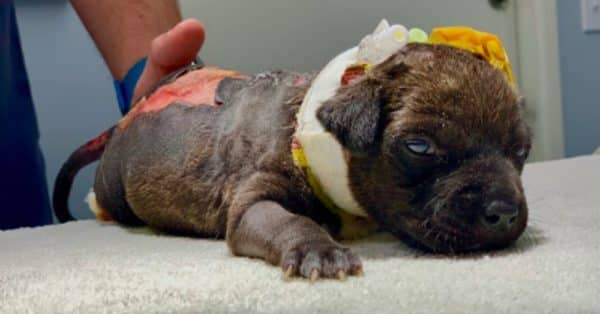 Passerby Hears Cries, Finds Badly Burned Puppy In Trash |
