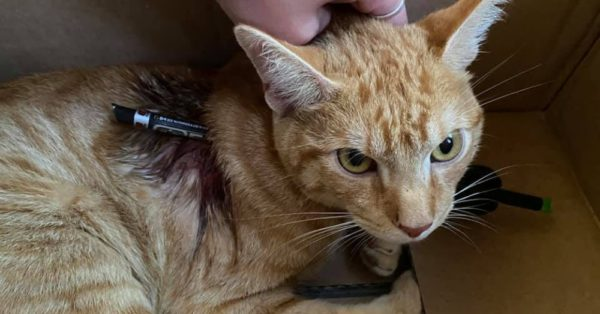 Rescuers Demand Justice For Cat Shot At Close Range With Arrow |