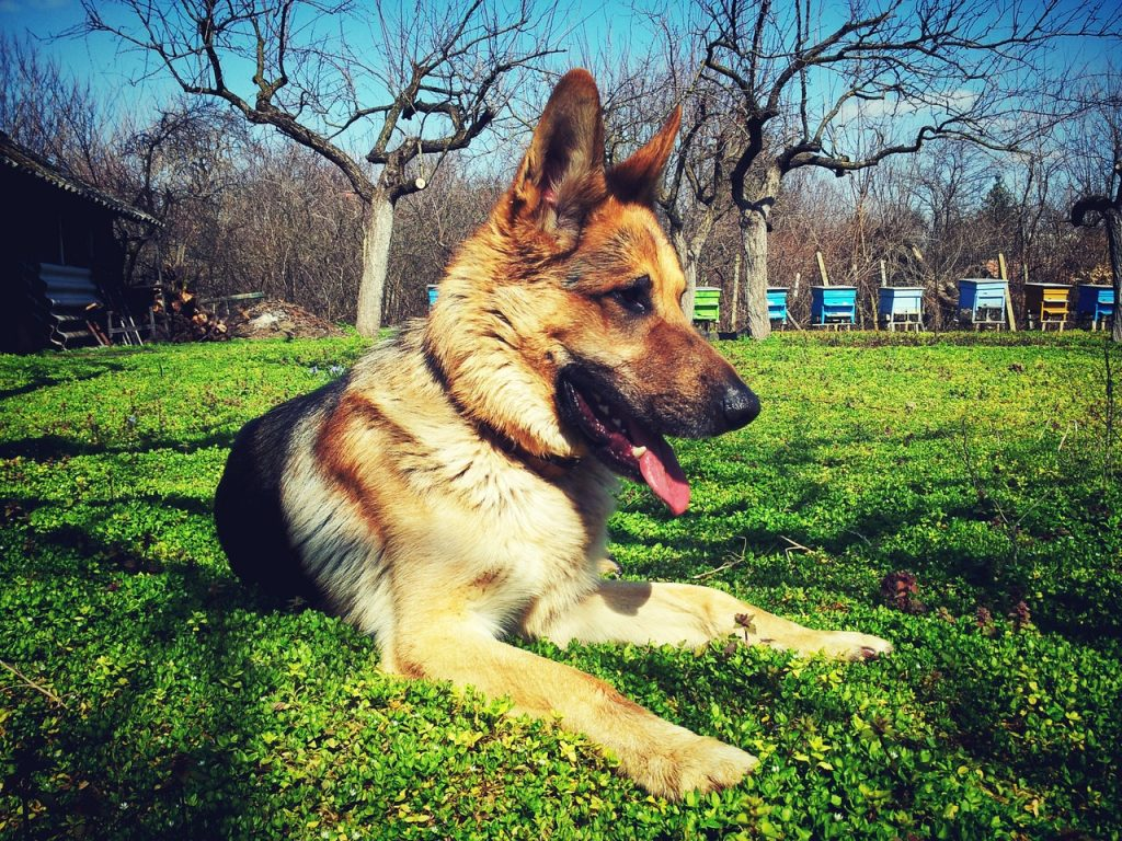 Picture of german shepherd sitting on grass to illustrate why do german shepherds shed