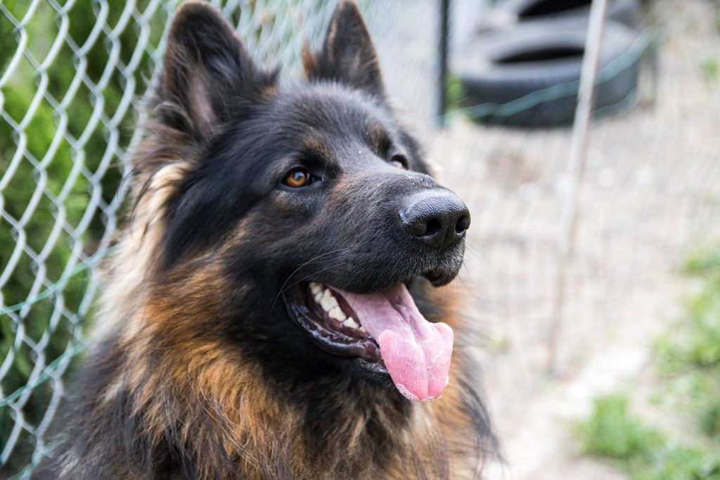 Do German Shepherds Shed? A Lot, Here Are 5 Easy Solutions |