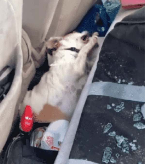 Officers Forced To Smash Car Window After Seeing Dog Convulsing Inside |