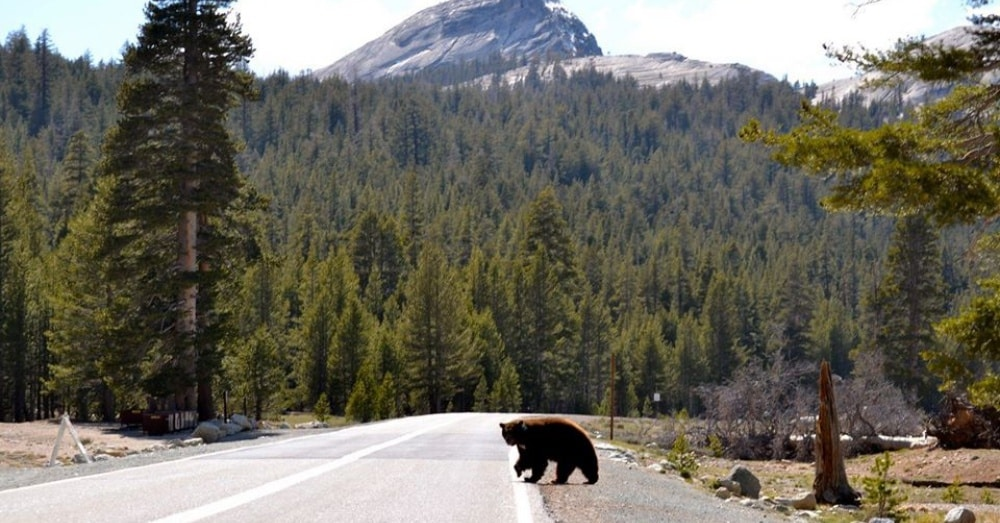 Two Black Bears Killed and Two More Injured After Cars Hit Them in Yosemite National Park |