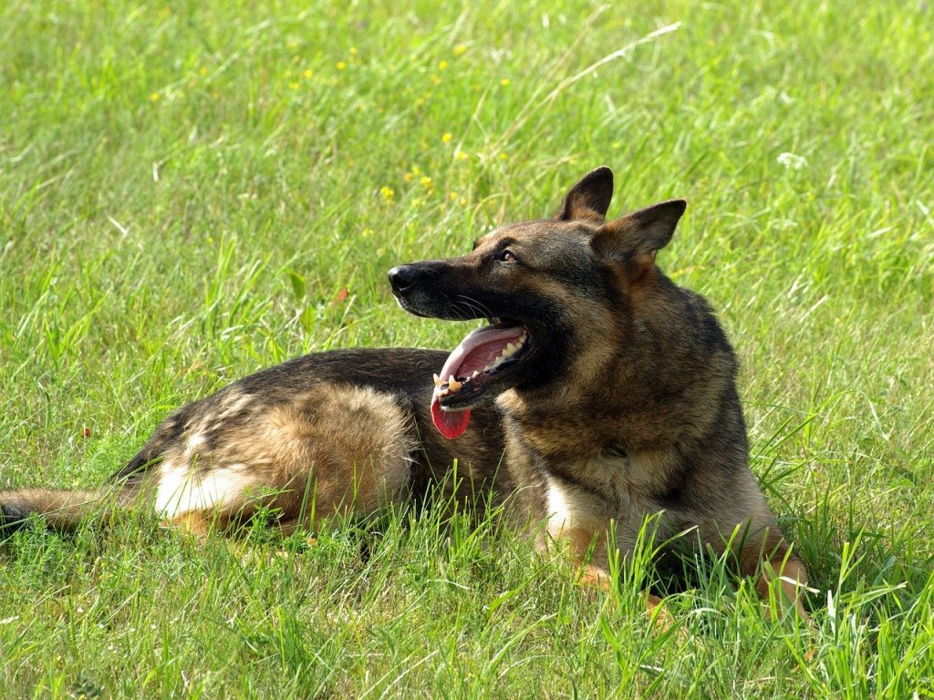 Why Do German Shepherds Bark So Much and How To Stop It |